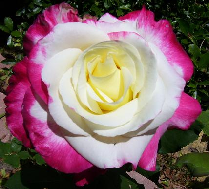 ABOUT THE ROSE OF ISRAEL